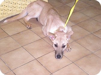 """Collie/Shepherd (Unknown Type) Mix Dog for adoption in New Castle, Pennsylvania - """" Sonja """""""