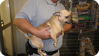 Chihuahua Mix Dog for adoption in Fort Scott, Kansas - Chewee