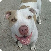 Pit Bull Terrier/Terrier (Unknown Type, Medium) Mix Dog for adoption in Detroit, Michigan - Chuckie