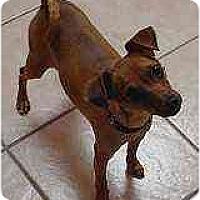Adopt A Pet :: Little Man - Swiftwater, PA