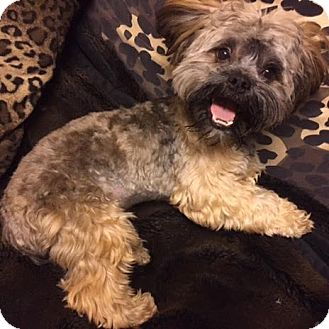 Lhasa Apso Mix Dog for adoption in Los Angeles, California - REMBRANDT