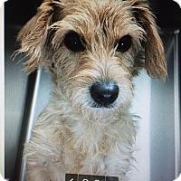 Adopt A Pet :: Scruffy - Lancaster, PA