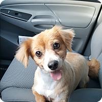 Adopt A Pet :: Bently - Lexington, KY