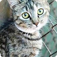 Domestic Shorthair Cat for adoption in Vancouver, Washington - Carrie
