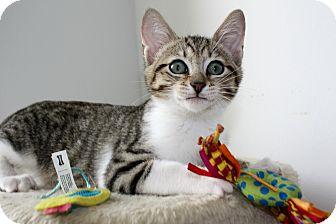 Domestic Shorthair Kitten for adoption in Vero Beach, Florida - Colby