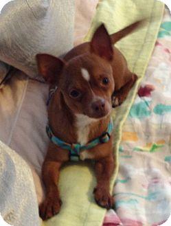 Chihuahua/Dachshund Mix Dog for adoption in San Diego, California - Chachi
