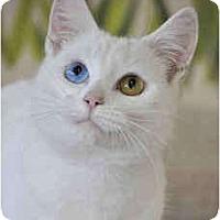 Adopt A Pet :: Tony (bi-colored eyes) - Arlington, VA