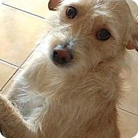 Adopt A Pet :: Cinco (Courtesy Listing) - Scottsdale, AZ