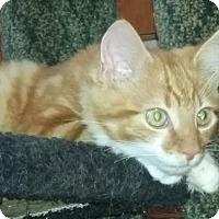 Adopt A Pet :: Gorgeous George - Delmont, PA