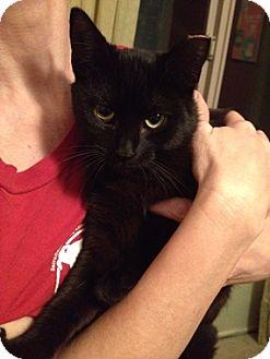 Domestic Shorthair Cat for adoption in North Highlands, California - Peanut