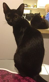 Bombay Cat for adoption in Sunny Isles Beach, Florida - Cleo
