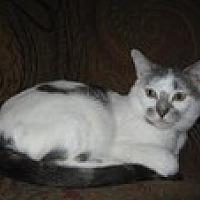 Domestic Shorthair Cat for adoption in Arlington, Texas - Bernie