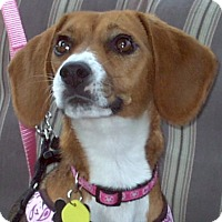 Adopt A Pet :: Belle 2016 (m/c) - Chesterfield, MI