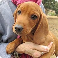 Adopt A Pet :: CLIFFORD - Brookside, NJ