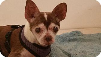 Chihuahua Dog for adoption in Weeki Wachee, Florida - Khasi