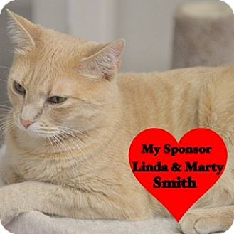 Domestic Shorthair Cat for adoption in San Leon, Texas - Nugget