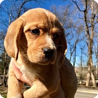 Adopt A Pet :: Nala (RBF) - Harrisonburg, VA