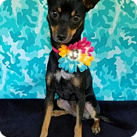 Manchester Terrier Mix Dog for adoption in Troutville, Virginia - Ivy
