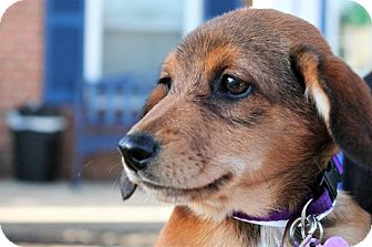 Hound (Unknown Type)/Labrador Retriever Mix Puppy for adoption in Berkeley Heights, New Jersey - Jill