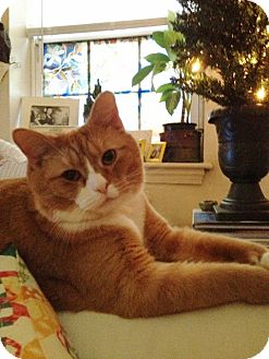 Domestic Shorthair Cat for adoption in Lutherville, Maryland - Milo