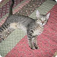 Adopt A Pet :: Amelia - Naples, FL