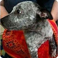 Adopt A Pet :: Chance - Arlington, TX