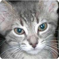 Adopt A Pet :: Pugsley Addams - Lombard, IL