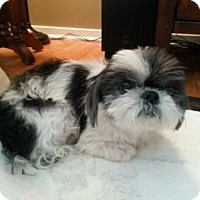 Adopt A Pet :: Daisy May Mufficans - Shawnee Mission, KS