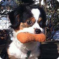 Adopt A Pet :: Spartacus (sparks) - Bridgewater, NJ