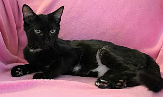 Domestic Shorthair Cat for adoption in Greensboro, North Carolina - Lettie