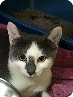 Domestic Shorthair Cat for adoption in Richboro, Pennsylvania - Popeye