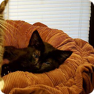 Domestic Shorthair Cat for adoption in Ortonville, Michigan - Leyla
