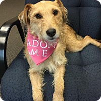 Border Terrier/Terrier (Unknown Type, Medium) Mix Dog for adoption in san diego, California - Trudie