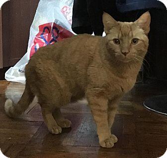 American Shorthair Cat for adoption in Briarwood, New York - Simba