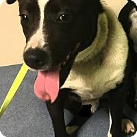 Adopt A Pet :: Sammy - Lebanon, ME