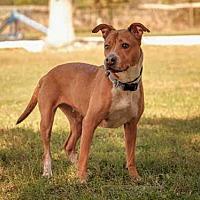 Pit Bull Terrier Mix Dog for adoption in Vero Beach, Florida - NINA
