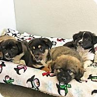 Adopt A Pet :: 'SAM' - Agoura Hills, CA