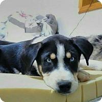 Adopt A Pet :: Siku - Tucson, AZ