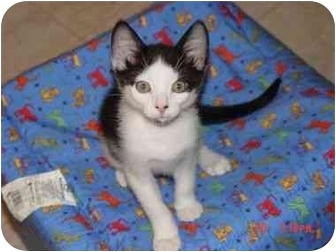 Domestic Shorthair Kitten for adoption in KANSAS, Missouri - Davey
