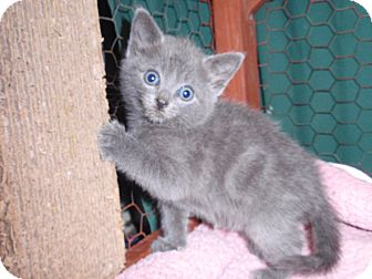 Russian Blue Kitten for adoption in East Brunswick, New Jersey - Strudel