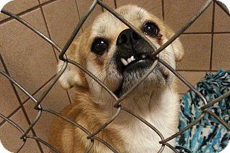 Shiba Inu/Spitz (Unknown Type, Small) Mix Dog for adoption in San Antonio, Texas - Ben