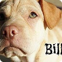 Adopt A Pet :: Billie - New Boston, MI