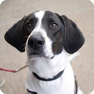 Pointer Mix Dog for adoption in Fairfax, Virginia - Pilot *Adopt or Foster*