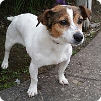 Adopt A Pet :: LoLa-Adoption pending - Bridgeton, MO