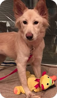 Spitz (Unknown Type, Medium)/Retriever (Unknown Type) Mix Dog for adoption in Mount Holly, New Jersey - Sadie