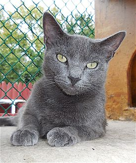 Domestic Shorthair Cat for adoption in Carmel, New York - Dali