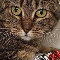 Domestic Shorthair Cat for adoption in Encino, California - Tigre