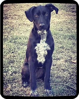 Labrador Retriever Mix Dog for adoption in Grand Bay, Alabama - TINK