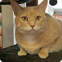 Domestic Shorthair Cat for adoption in Manchester, Missouri - Hailey