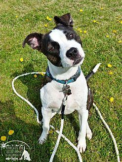 Terrier (Unknown Type, Medium) Mix Dog for adoption in Marlinton, West Virginia - Nico